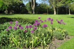 may12-alliums-in-flower-1-1