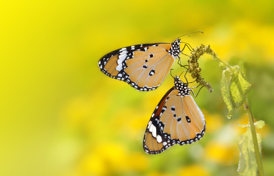 Yellow Butteryfly